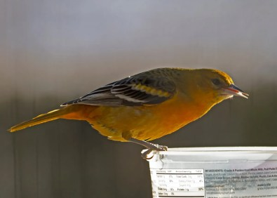 """After finding this young male Baltimore Oriole at her feeders northwest of Bloomington in Monroe Co, Indiana on 16 Dec, the homeowner religiously provided mealworms and protein-rich """"Zick"""" dough daily and the oriole returned to the feeders daily for 67 additional days. Photo © Susan Hengeveld."""