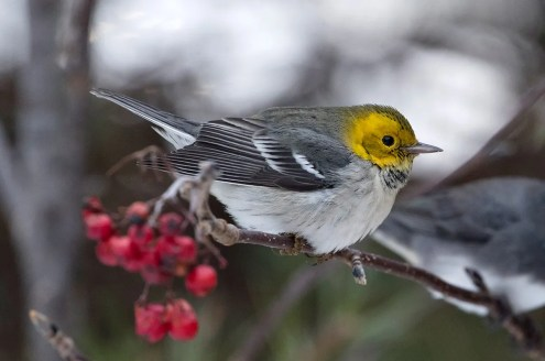 This Hermit Warbler–first discovered in St. John's, NL by Alison Mews and Ethyl Dempsey–was observed until the first big winter storm of 2020 (here 21 Dec). Photo © Bruce Mactavish