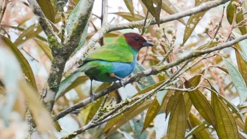 20140120-20140120-SS8_4398-Bay-headed-Tanager
