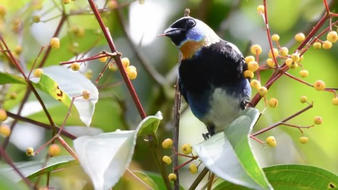 20140123-20140123-SS8_6149-Golden-hooded-Tanager