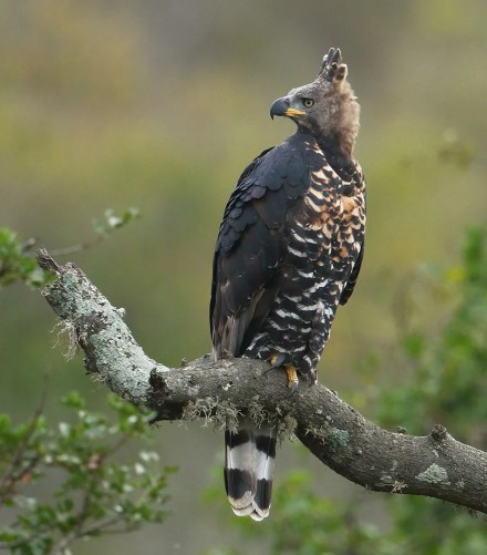 Eagle,-Crowned-MPGR-SA-AR