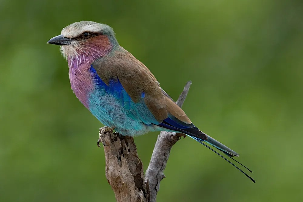 Roller,-Lilac-breasted-AR