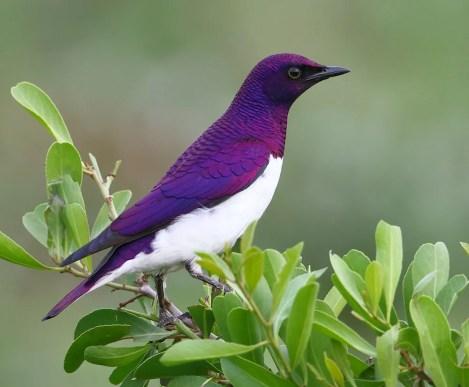 Starling,-Violet-backed-ZRR-SA-AR-copy