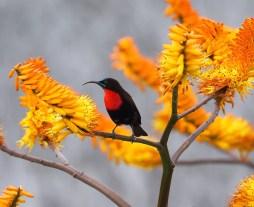 Sunbird,-Scarlet-chested-LM-ZRR-SA-AR2