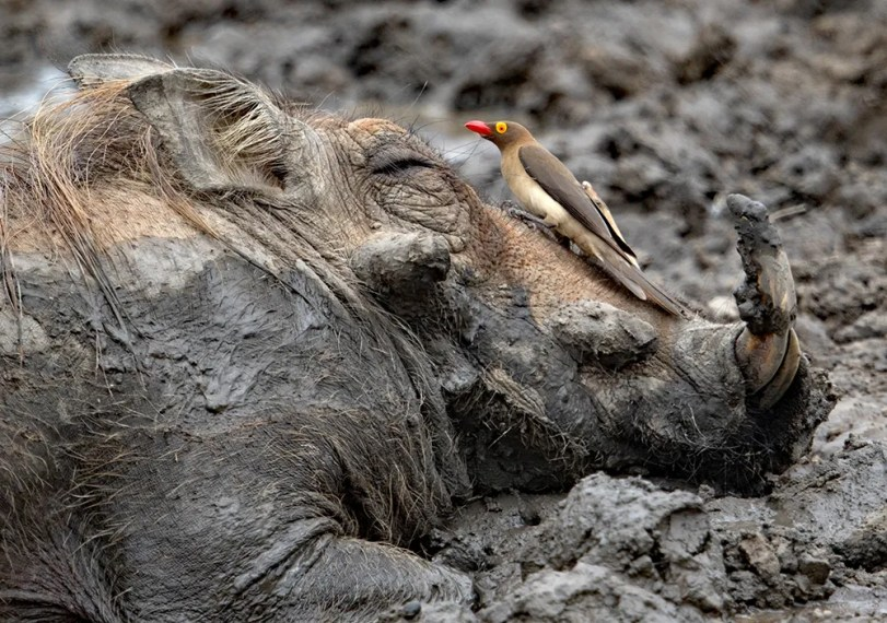 Warthog-and-Oxpecker,-Red-billed-AR