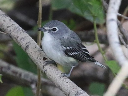 Though reported annually in southeast Oregon, only 10 Plumbeous Vireo records have been accepted by the state records committee. This one, photographed on 16 Sep, was one of 3 at Page Springs Campground during early September. Plumbeous Vireos were photographed at this site the past two years as well, and a juvenile present this fall suggests that they successfully bred. Photo by © Russ Morgan.