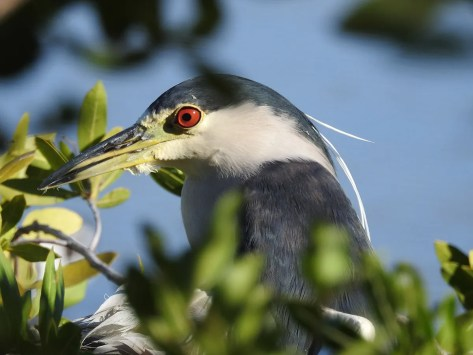 Doug McClure's photo of a Black-crowned Nigh-Heron at Meads Bay Pond, Anguilla on 4 Mar 2020 provided the first eBird record for that country. Photographed here on 4 Mar. Photo © Doug McClure.
