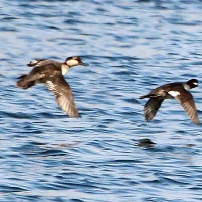 This apparent Bufflehead X Common Goldeneye hybrid (second from left), Nebraska's first recorded, was photographed 19 Apr 2020 in Dodge Co., NE. Photo by © Charlotte Croshaw.