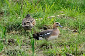 Although Eurasian Wigeons appear with some regularity in the Prairie Provinces, hybrids are seldom reported. This male Eurasian Wigeon x American Wigeon was at Maple Creek, SK on 31 May 2020. Photo © Vicki St Germaine.