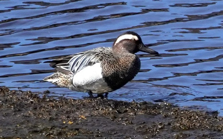 This Garganey, photographed on 21 Mar 2020, was an excellent find at Sambro Salt Marsh, Nova Scotia. Photo by © Diane LeBlanc