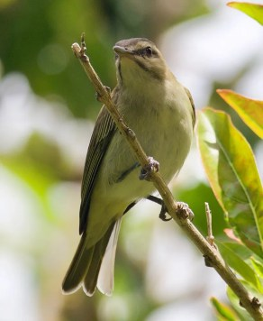 Black-whiskered Vireo is an extremely rare vagrant to Bermuda. It was present for only one day at Tudor Hill on 28 Mar 2020. Photo © Ingela Perrson.