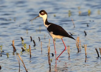 Black-necked Stilt, 5 May in Leighton, Colbert Co, Alabama, rare but increasing in the T.V. Photo © Bala Chennupati.
