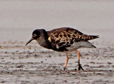 This gorgeous Ruff at Hawkeye Wildlife Area, Johnson Co 11 Apr 2020 was Iowa's second-earliest spring arrival and one of four in the Iowa-Missouri region. Photo © Mark Brown.