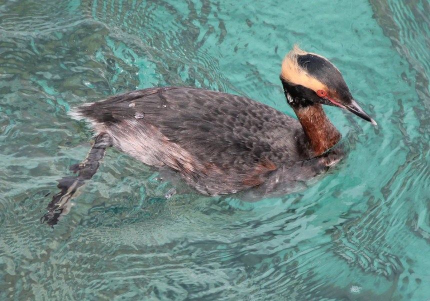 Horned Grebe is scarce vagrant to Bermuda. One discovered at Coot Pond on 11 Mar 2020 was photographed during its one-day stay. Photo © Neal Morris.