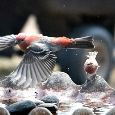 Pine Grosbeak is an exceptionally rare find in Oklahoma. This bird visited a water-bath in Shell Lake, Osage Co., Oklahoma from 1–4 March 2020 (here 1 Mar 2020). Photo by © Lewis Pond.