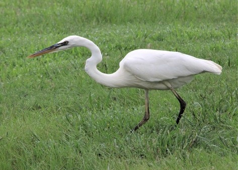Great Blue Heron (white morph), 31 Aug Auburn, Lee Co, fifth for inland Alabama, first inland in spring and second for the I.C.P. Photo © Bill Summerour