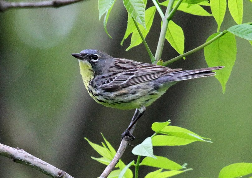 This Kirtland's Warbler, present in Geneva, Kane Co, Illinois on 18 May 2020, was the fourth for Illinois in the last six years. Photo © Scott Cohrs.