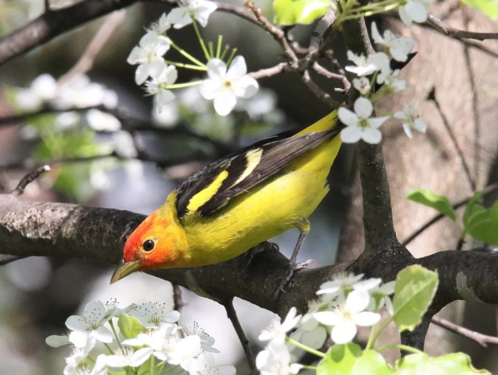 Western Tanagers inundated the Illinois & Indiana region, with a minimum of six different birds seen. This male attended feeders at a private residence in DeKalb Co in the northeastern corner of Indiana for eight days, photographed here on the final day of its stay, 7 May 2020. Photo © John Skene.
