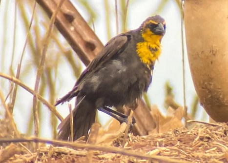 Yellow-headed Blackbird, 14 May, Leighton, Colbert Co, Alabama, eighth for the T.V. and its second in spring. Photo © Greg Jackson