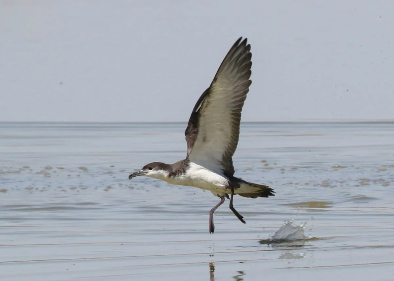 Only the second ever at California's Salton Sea and the first for Imperial Co, this Buller's Shearwater frequented a shallow impoundment adjacent to the southeastern shoreline of the Sea on 17 Jun 2020, sometimes even swimming among the wading birds such as American Avocets. Photo © Thomas A. Benson.