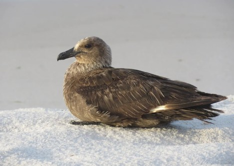 Exceedingly rare in the northern Gulf Coast, Alabama's first South Polar Skua was seen on the beaches of Gulf Shores and Orange Beach, Baldwin Co 30–31 Jul 2020 (here 30 Jul 2020). The bird was later seen at various locations in the panhandle of Florida during August, making one return trip to Alabama on 8 August 2020 at Gulf State Park, Baldwin Co. Photo © Olivia Morpeth.