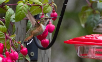 This Rufous Hummingbird, observed at the feeders of Clara Dunne in Renews, Newfoundland, 28 & 29 June was completely unexpected. It provided the 4th provincial record of the species. Photo by © Bruce Mactavish.