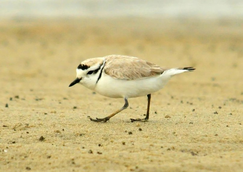 This Snowy Plover, RI's first, was found during a Piping Plover survey 17 Apr. 2017 at Little Compton. Photo by © Geoff Dennis.