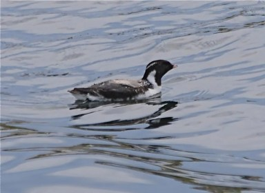 This Ancient Murrelet, the second in two years off the coast of ME, is shown here on 24 May 2017 at Matinicus Rock. Photo by © John Drury.