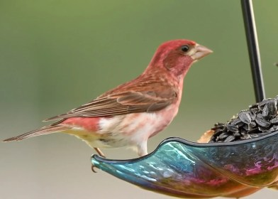 This male Purple Finch was the only summer vagrant on record for Oklahoma, noted 12 Jun 2020. Photo © Tony Goza.