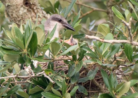 While Gray Kingbirds have nested regularly along the Alabama coast in recent years, Mississippi has not had documented breeding in twenty years. This individual (seen here 20 Jul 2020) nested successfully at Biloxi, Harrison Co, Mississippi, marking the first documented nesting in the state since 2000. Photo © Collin Stempien.