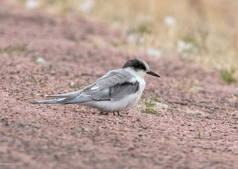 The immature Arctic Tern, Nebraska's third, 15–21 November 2020 (first photo), followed by an adult (next photo), Nebraska's fourth, 18–21 Nov 2020 were at Lewis and Clark Lake, Knox Co (here 19 Nov). Arctic Terns migrate off our coasts, so are an exceptional find inland. Photos © Paul Roisen.