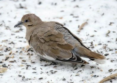 This White-winged Dove lingered at Vilna, Alberta from 8 Nov to 12 Dec 2020. Photo © Mary Shupe-Moore.