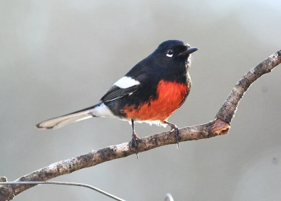 Painted Redstarts breed in West Texas, but this bird first discovered 17 Nov 2020 in a suburban Houston, Harris Co neighborhood is the first county record and lingered well into Jan 2021. Photographed 04 Jan 2021. Photo © Ed Robinson