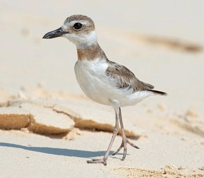 Rarely seen in Bermuda, this Wilson's Plover was only the third record in the last 50 years. Discovered at Cooper's Island on 29 Aug 2020 when it was photographed. It was seen again on 15 Sep. Photo © Tim White.