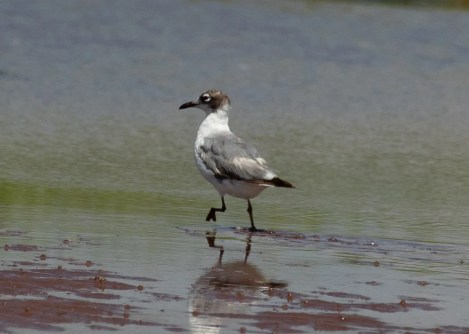 This Franklin's Gull lingered into the fall at the Borden Lagoons, Prince Co, Prince Edward Island and was last observed and photographed, here, 13 Sep 2020. Photo © Donna Martin.