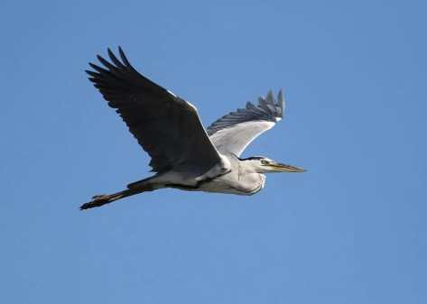 This Gray Heron, a first for the Lower 48, was found on 5 Sep 2020 on Tuckernuck Island off Nantucket, Massachusetts, and was relocated the next day on nearby Muskeget Island. It seems likely that the same bird was in Nova Scotia from 28 Jun to 22 Aug 2020. Photo © Skyler Kardell.