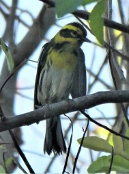 Only the ninth record for Bermuda, this Townsend's Warbler would not have been identified without the bird being photographed on 16 Oct 2020 during a brief visit to Liz Copeland's garden. Photo © Liz Copeland.