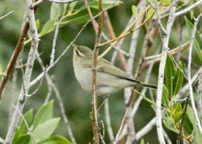 KamchatkaLeafWarbler_19Sep2020_GooseLakeStatePark_LakeCo_OR_DavidIrons.jpg Oregon finally got its first Phylloscopus on 19 Sep 2020 when this Arctic/Kamchatka Leaf Warbler was found at Goose Lake State Park, Lake Co. Another Arctic/Kamchatka Leaf Warbler was photographed on 26 Sep 2020 on the coast in Salishan, Lincoln Co. The West Coast only has ten other records, all from California, including one documented in Orange County on 20 Sep 2020. Photo © David Irons.
