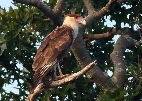 This Crested Caracara, the third for Massachusetts, was found on 12 Aug 2020 in Gloucester, Essex Co and was present the next day in nearby Amesbury. Photo © Sean Williams.