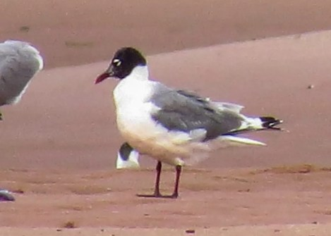 This Franklin's Gull discovered at Bothwell Beach, Kings Co, Prince Edward Island 8 Aug 2020 provided the province with its second record. Photo © Roberta Palmer.