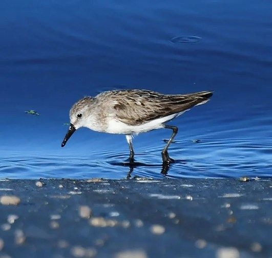 This Semipalmated Sandpiper, hotographed here 20 Sep 2020 at Kealakehe Wastewater Treatment Plant on the Big Island, provided a first record for Hawai'i Co, Hawaii. It was present 7 Sep–21 Sep. Photo © Bill Brynteson.
