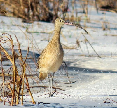 Lanky and conspicuous, a rare Long-billed Curlew stalked the shores of West Ship Island, Harrison Co, Mississippi 21 Oct 2020. Photo © Collin Stempien.
