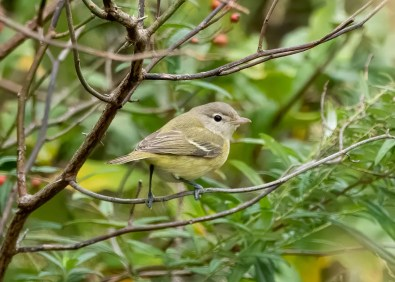 This accommodating Bell's Vireo proved unusually easy to find 22 Oct to 11 Nov 2020 (here 23 Oct) at Silver Sands State Park in Milford, New Haven Co, Connecticut. Photo © Gerry Hauser.