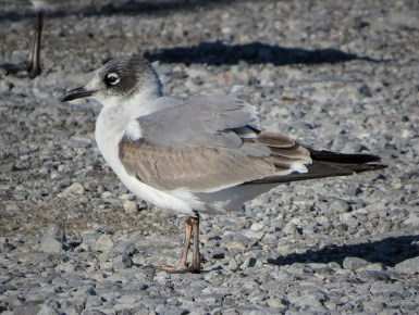 Regular in small numbers in late autumn on the northern Gulf Coast, a first-cycle Franklin's Gull was at Pascagoula, Jackson Co, Mississippi 30 Nov 2020. Photo © Brian Johnston.