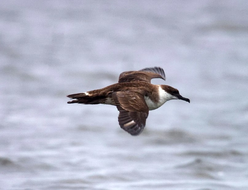 Far from the brine, and rare even in the Gulf, Mississippi's fourth Great Shearwater was at Ross Barnett Reservoir, Madison/Rankin Cos following Hurricane Delta 10–11 Oct 2020. Photo © Andrew Bell.