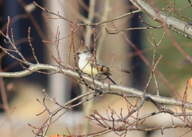 Discovered in Port Williams 21 Nov, this Ash-throated Flycatcher provided the seventh record of the species for Nova Scotia. 21 Nov 2020. Photo © George Forsyth.
