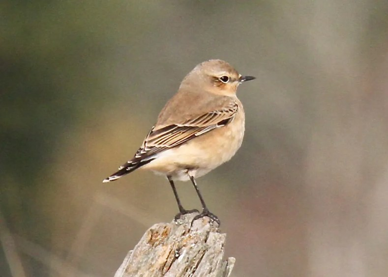 This Northern Wheatear posed cooperatively on 12 Oct 2020 at Parson's Beach, York Co Maine. New England had four for the fall season, two of them in Maine. Photo © Turk Duddy.