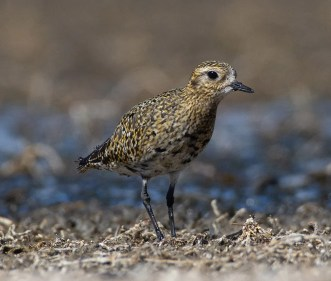 A truly remarkable record, this European Golden-Plover was at Maxwell for a month where it was seen by hundreds of birders during its stay. Photo © Owen Sinkus