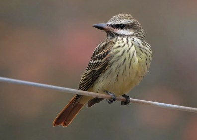 An exceptional vagrant to New Brunswick, this Sulphur-bellied Flycatcher was in Riverdale 20–24 Oct, 20 Oct 2020. Photos © Mitch Doucet.