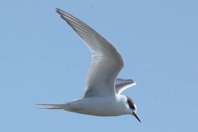 This first year Arctic Tern made several close approaches at Ute Lake allowing for close study on 4 Oct. Photo © Phil Chaon